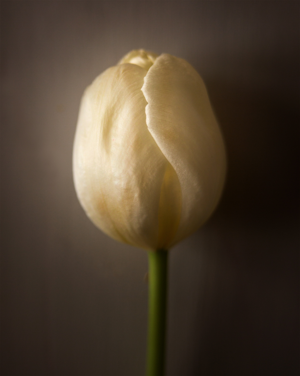 Tulip I ©2016 Sonja Maria Schobinger